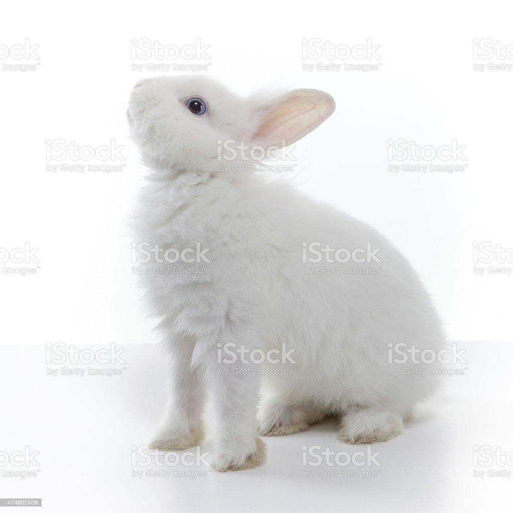 White rabbit isolated stock photo