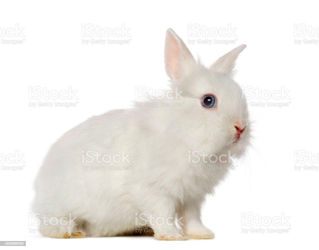 White Rabbit, isolated stock photo