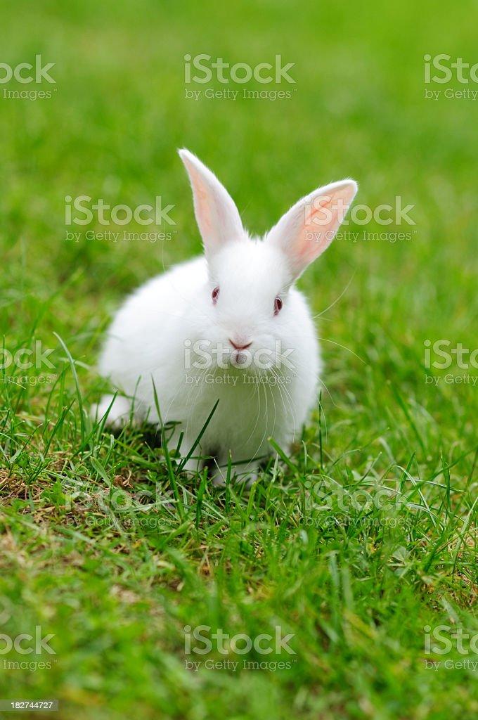 White rabbit on fresh green grass stock photo