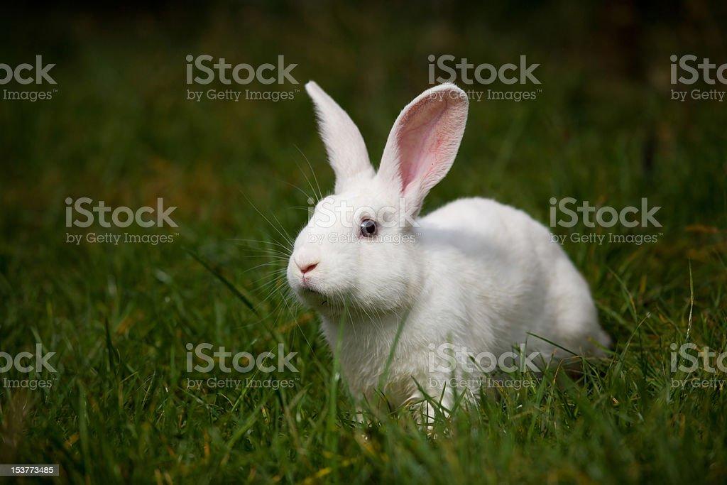 white rabbit on grass outdoor royalty-free stock photo