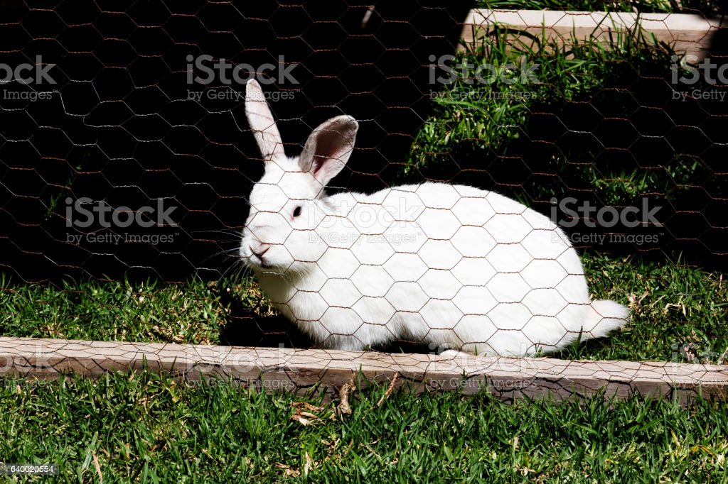 White Rabbit On Green Grass In Chicken Wire Cage stock photo