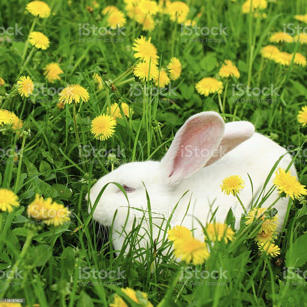 White rabbit on the summer dandelion stock photo