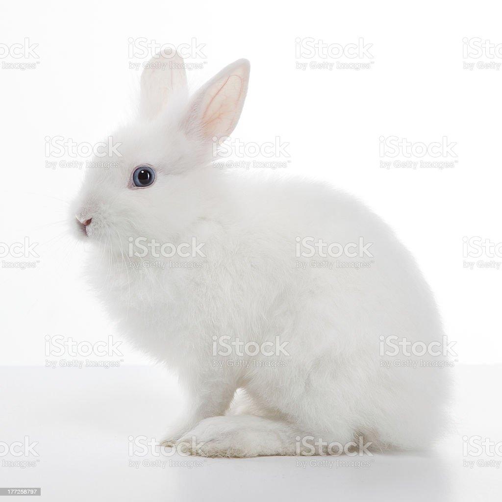 White rabbit royalty-free stock photo