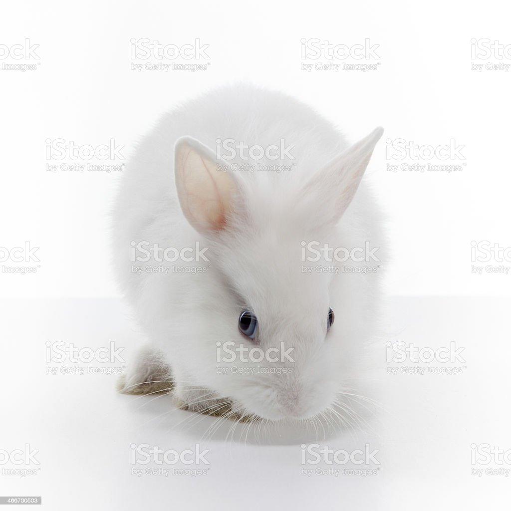 White rabbit stock photo