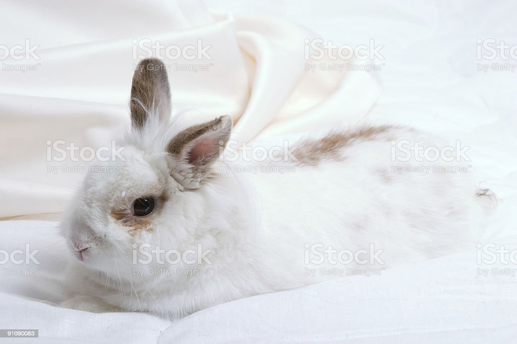 white rabbit royalty-free stock photo