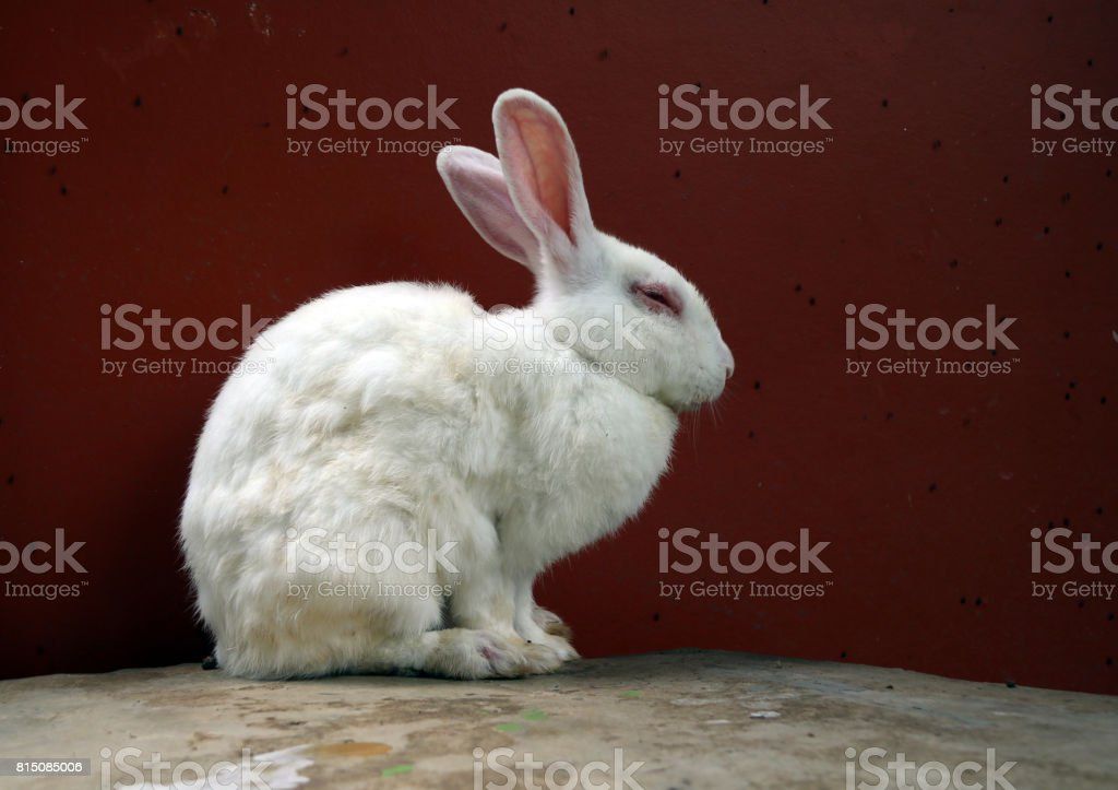 White rabbit sitting on the rock table and red background. stock photo