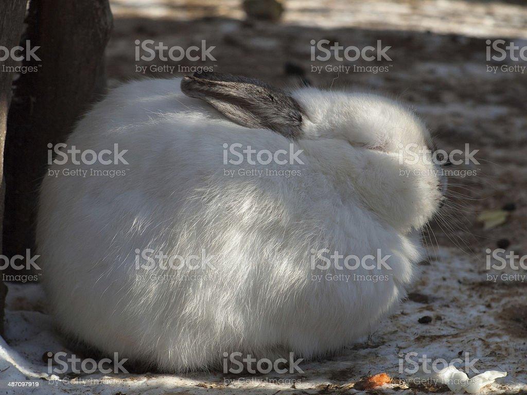 White rabbit sleeping on the ground stock photo