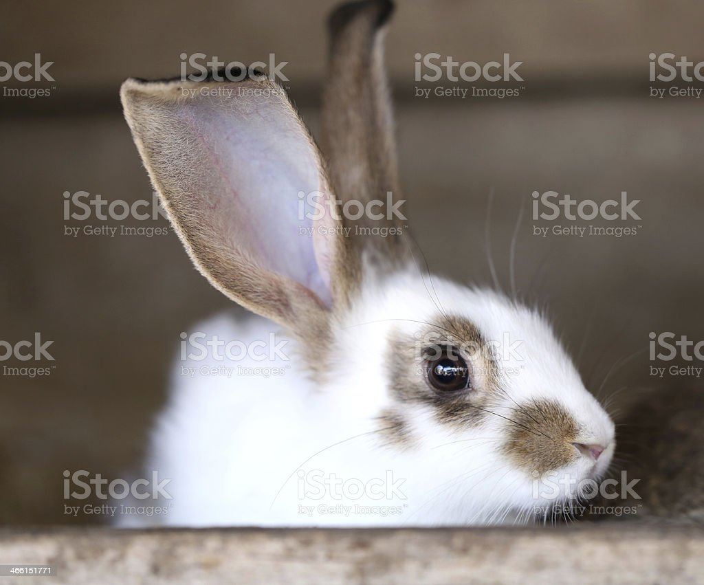 White rabbit with blask spots. stock photo