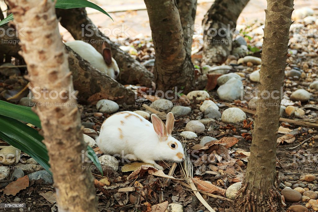 White rabbit with brown ears in nature. stock photo