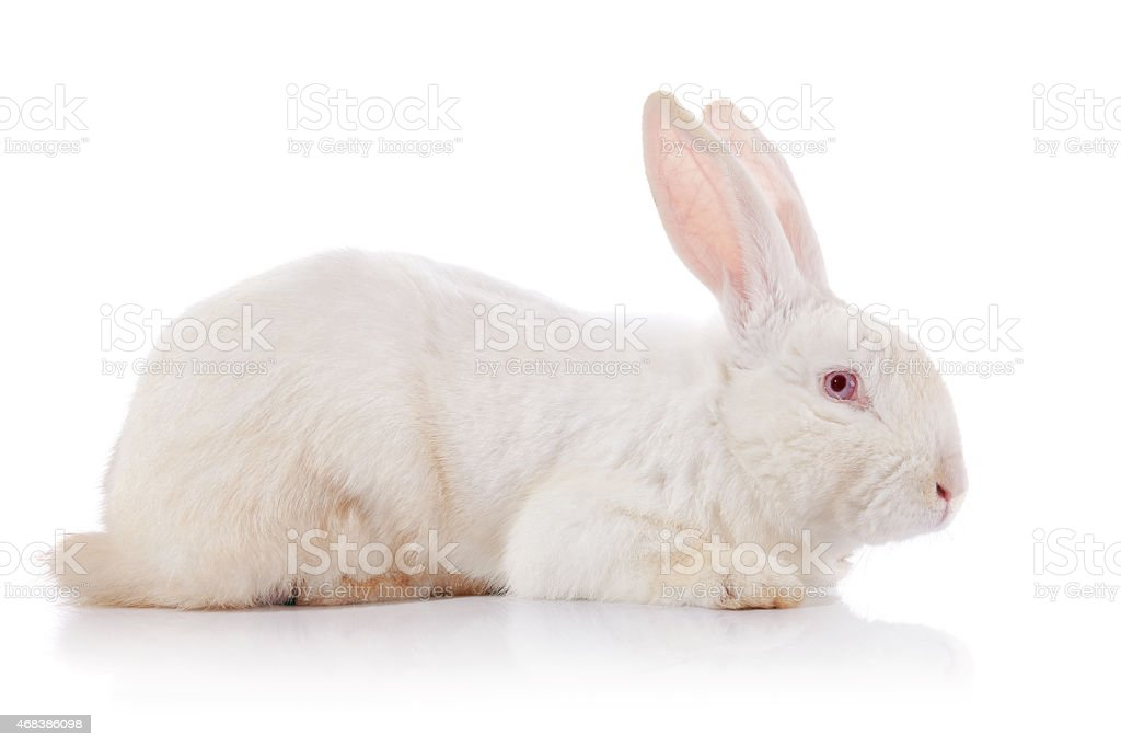 White rabbit with red eyes stock photo