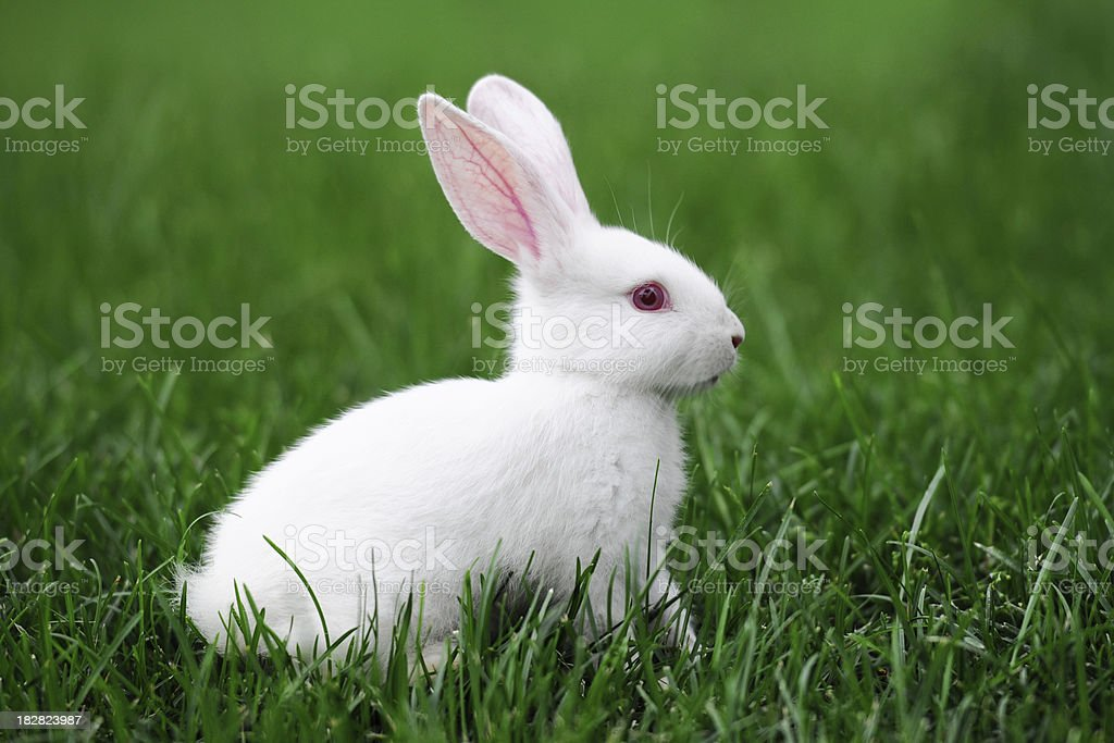 White Rabbit - XLarge stock photo