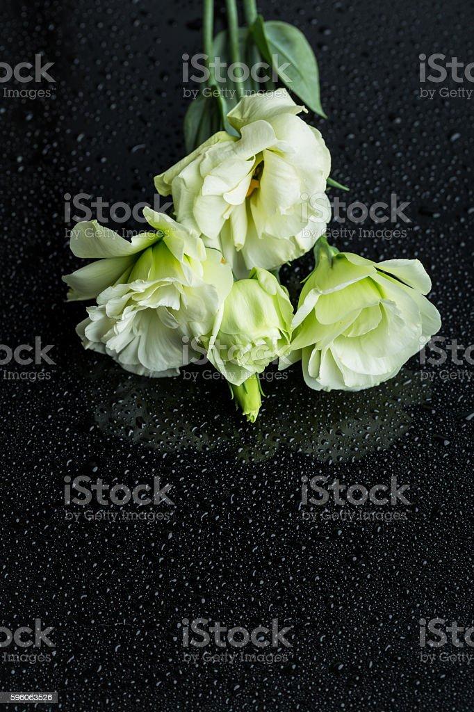 white radix platycodi on black background with water drops stock photo