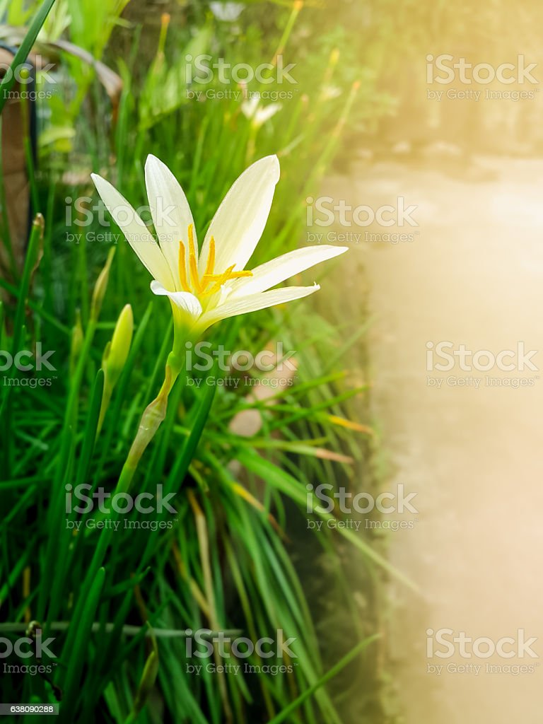 White rain lily flower with green leaves and buds stock photo