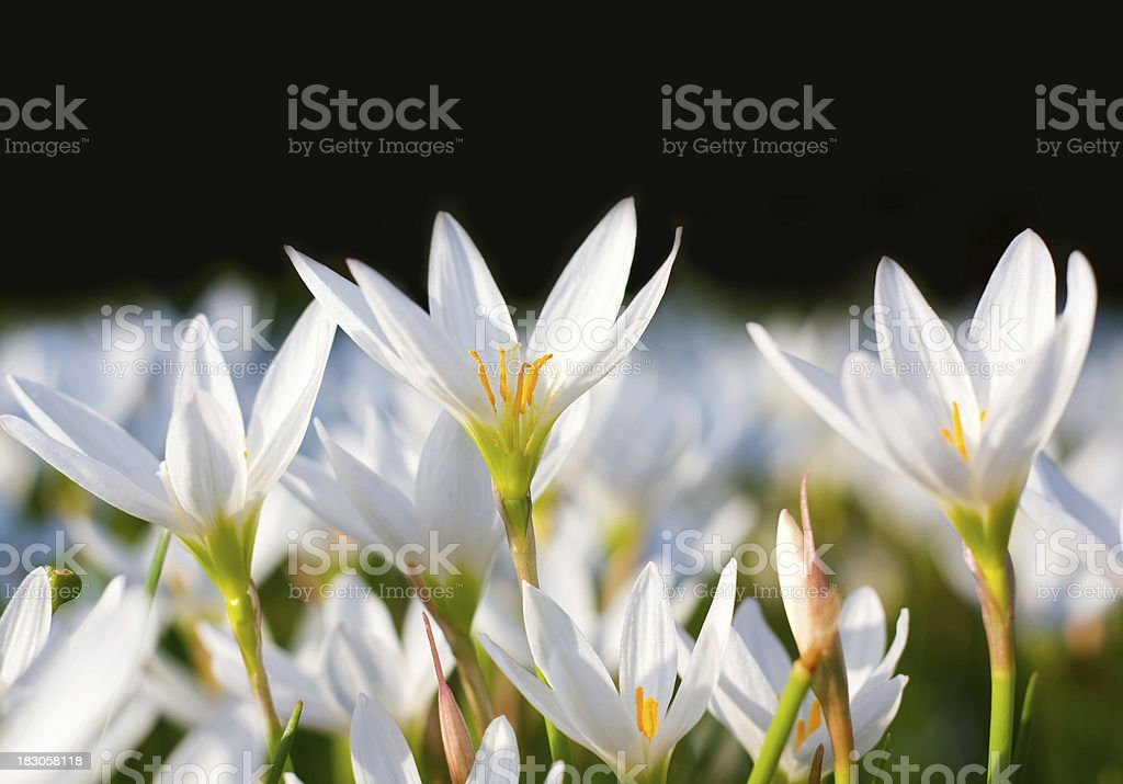 White Rain Lily flowers stock photo