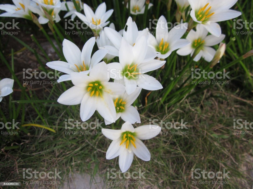 White rain lily or Zephyranthes candida flowers. stock photo