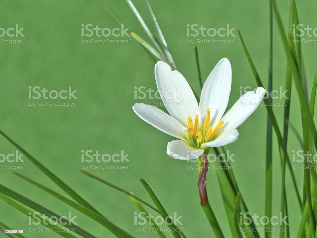 White rain lily, White zephyr lily, Zephyranthes candida stock photo