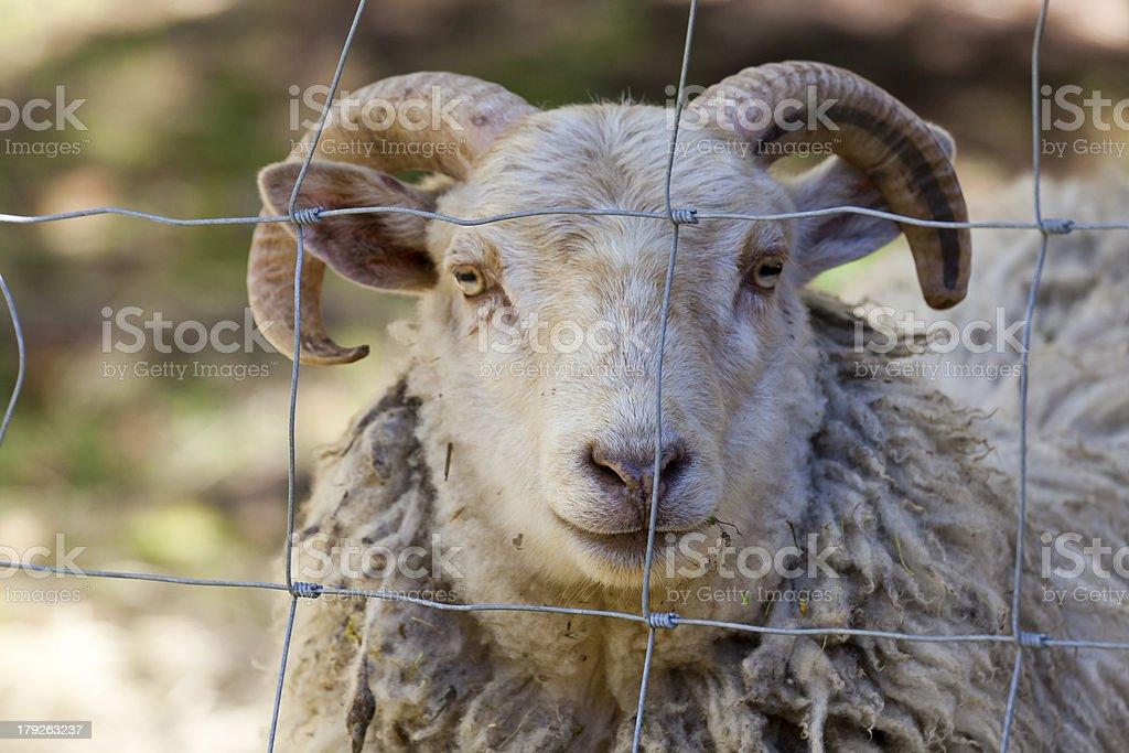 White Ram behind fence royalty-free stock photo