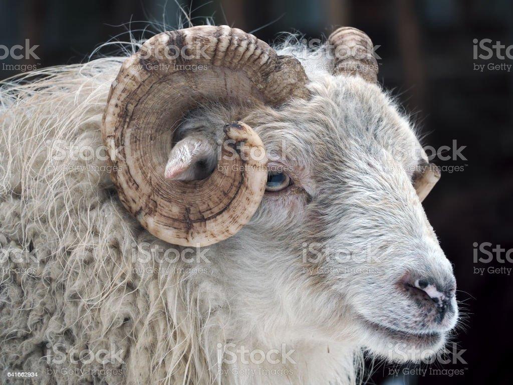 White ram portrait stock photo