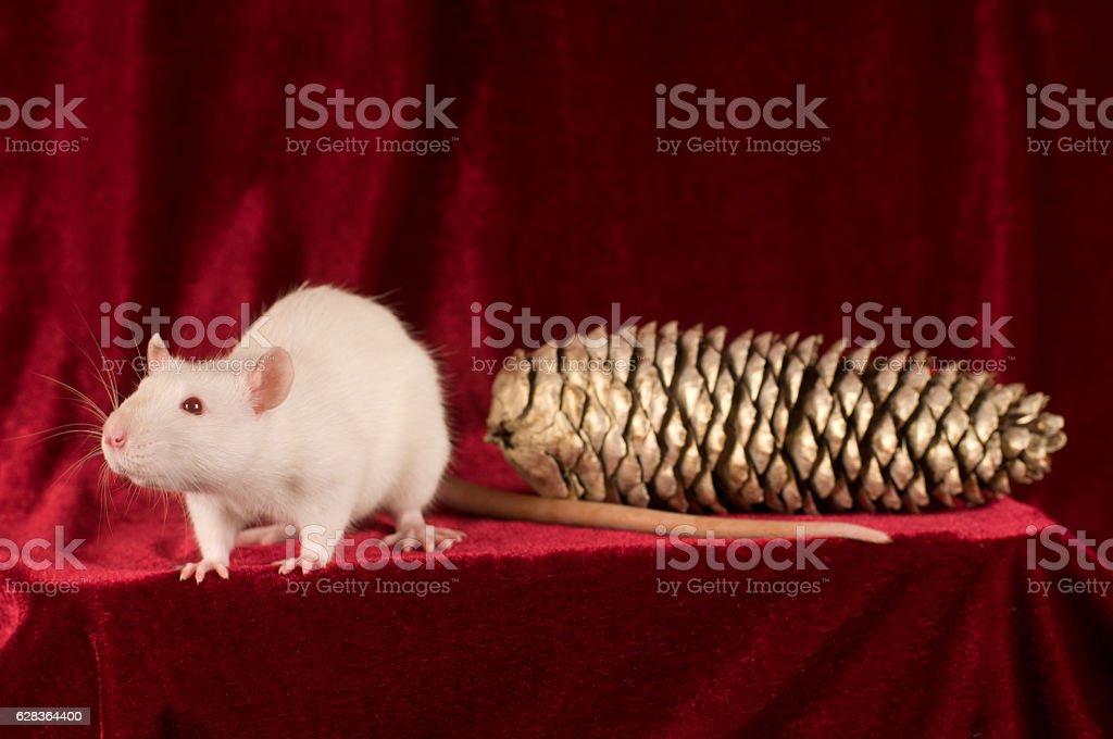White rat and golden cone on red velvet background stock photo