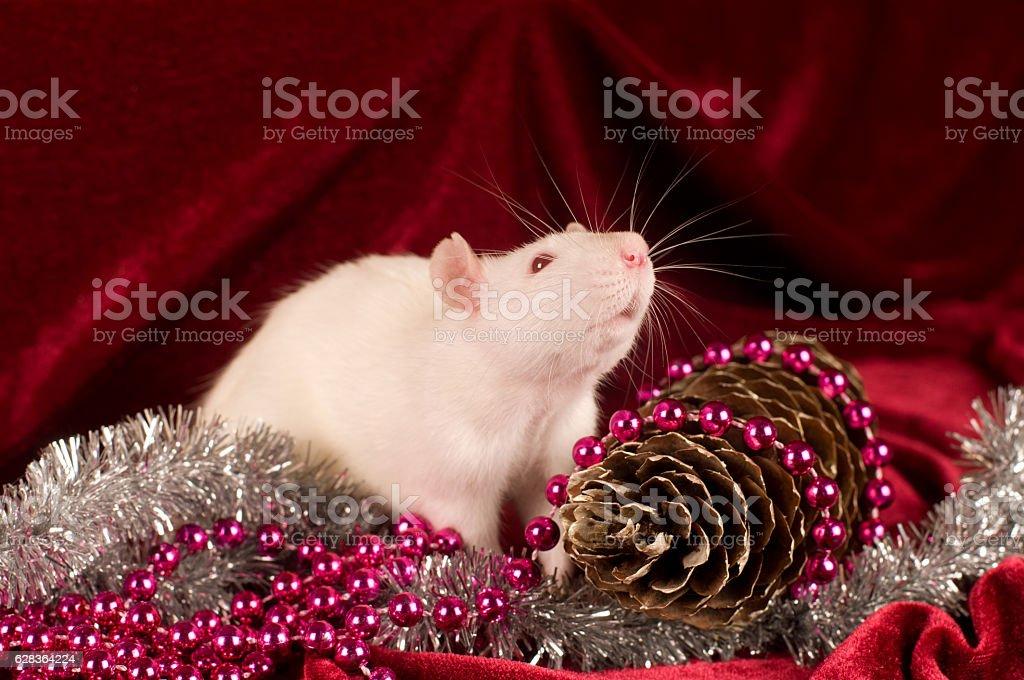 White rat on red velvet background with decoration stock photo