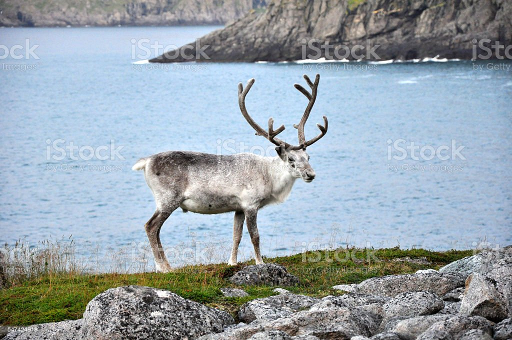white reindeer at  North Cape, Norway stock photo