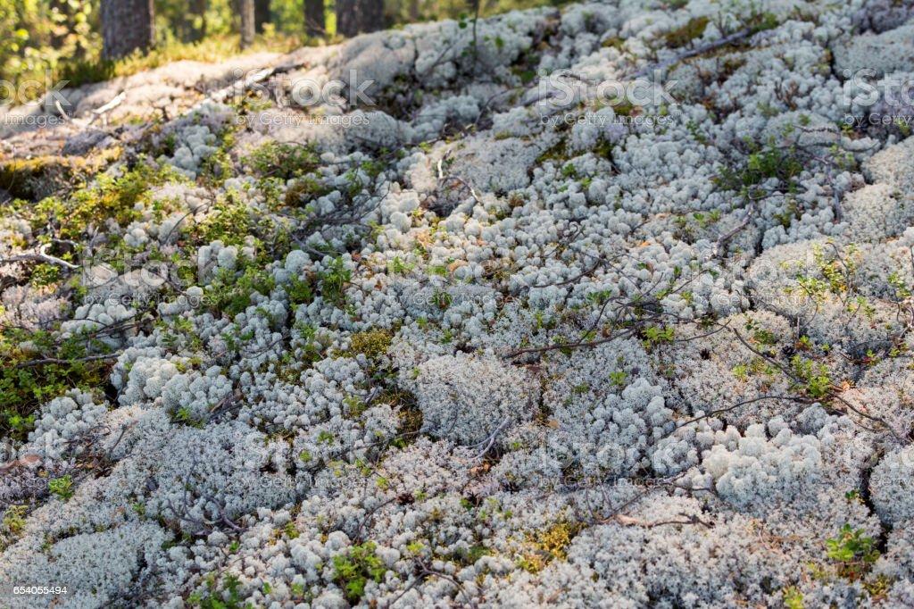 White reindeer moss covering ground in forest on Finland island Pussisammalsaari. stock photo