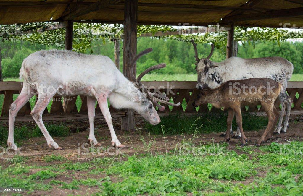 White reindeers walking near the feeding-rack. stock photo
