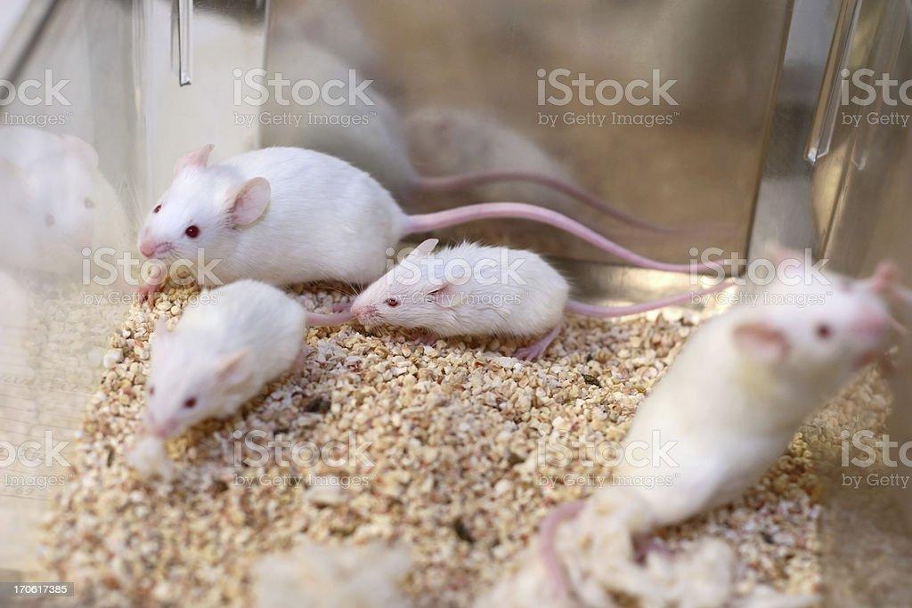 White Research Mice stock photo