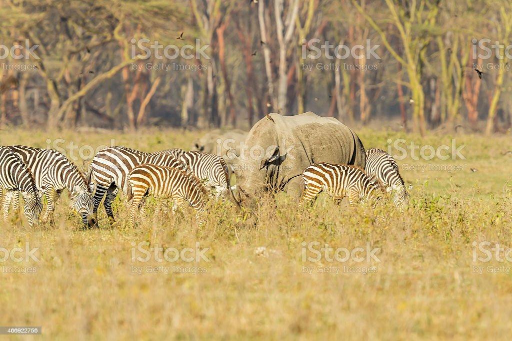 White Rhino and Zebras grazing together stock photo