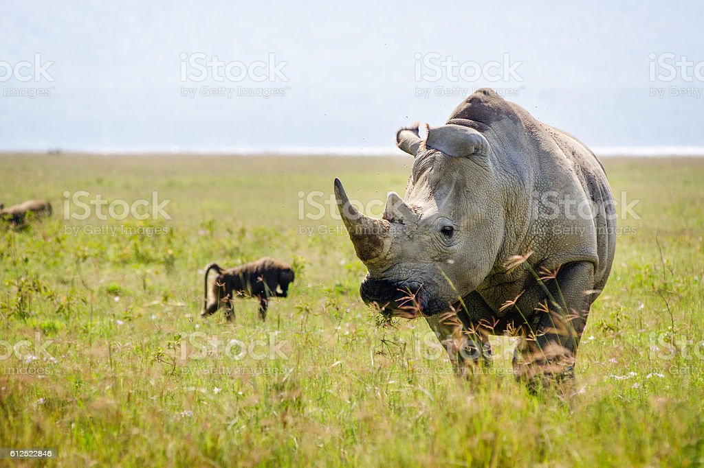 White Rhino at Lake Nakuru National Park in Kenya stock photo