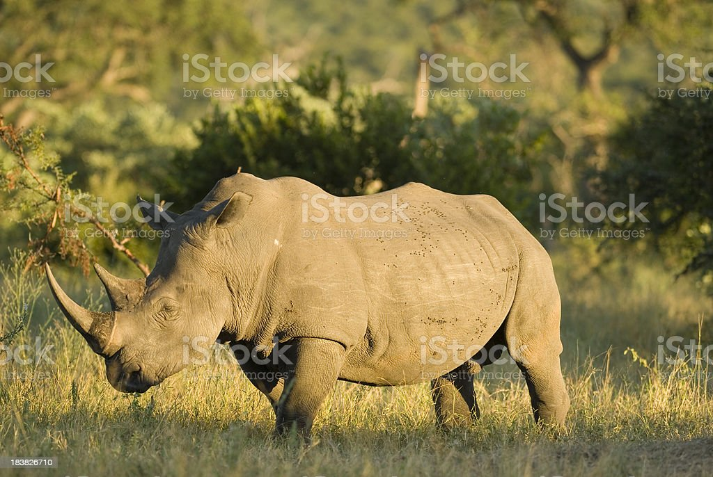 white rhino bull royalty-free stock photo