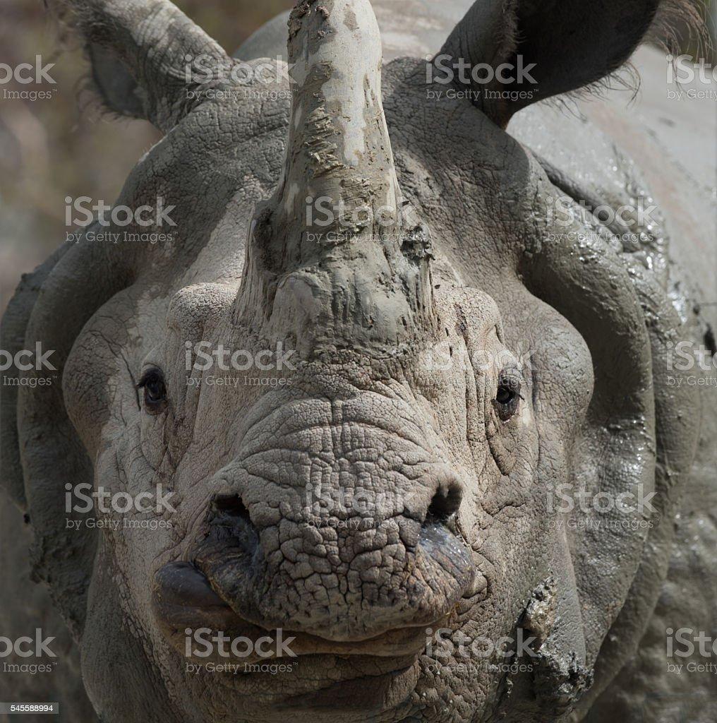 White Rhino close-up stock photo