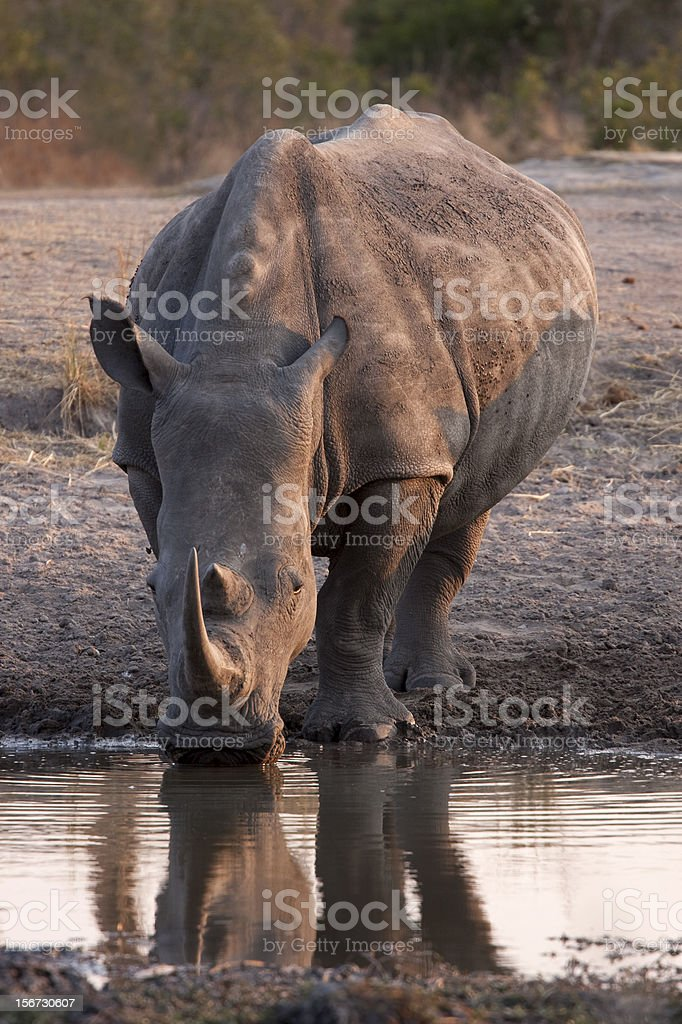 White Rhino cow drinking at waterhole in South African Reserve royalty-free stock photo