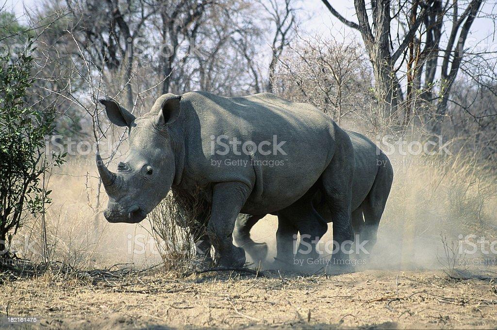White Rhino Duststorm stock photo
