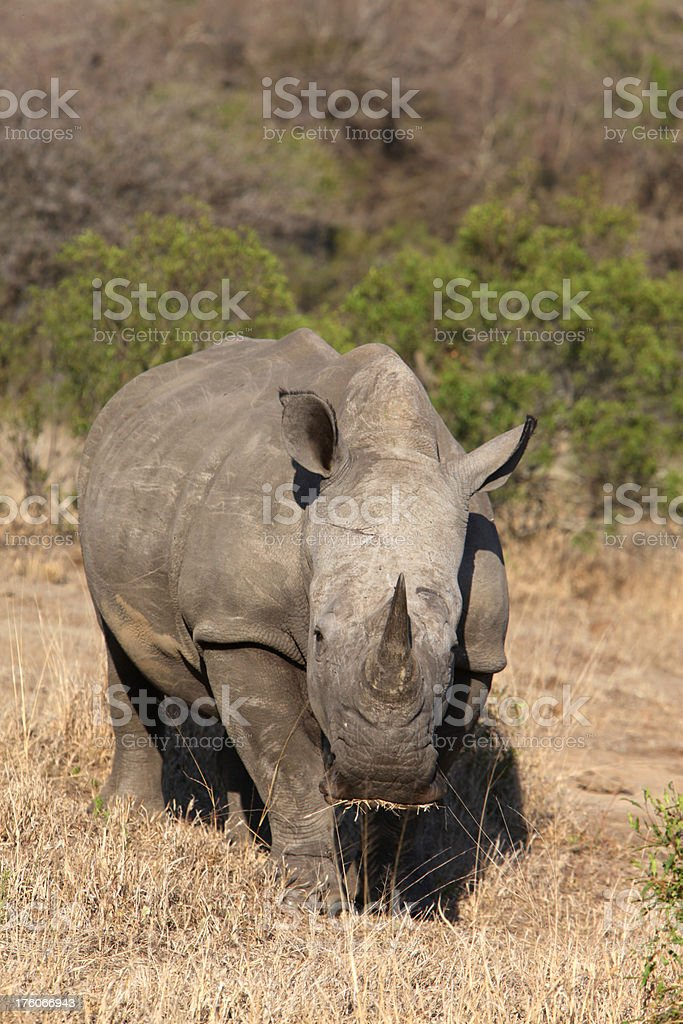 White Rhino Feeding On Grass stock photo