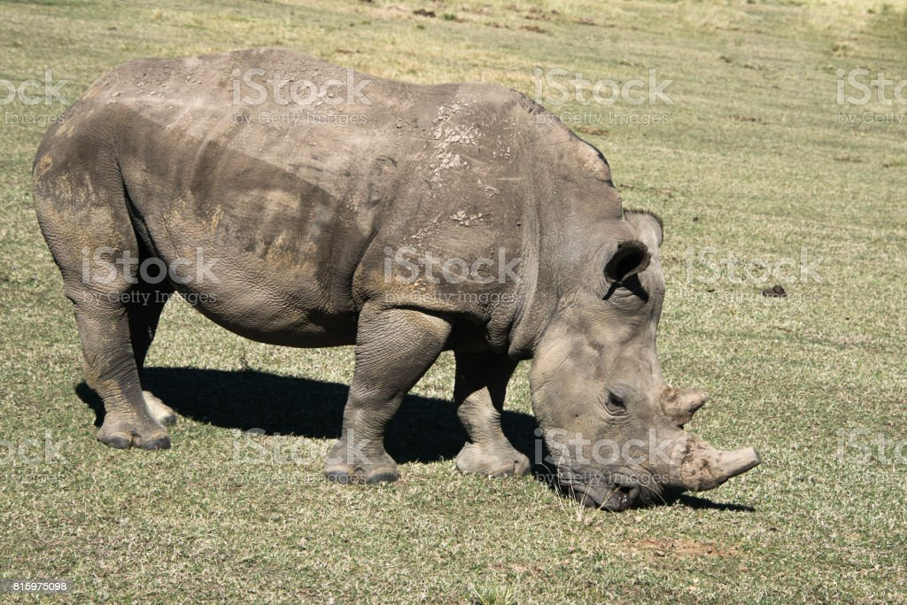 A white rhino grazing in a game reserve in South Africa stock photo