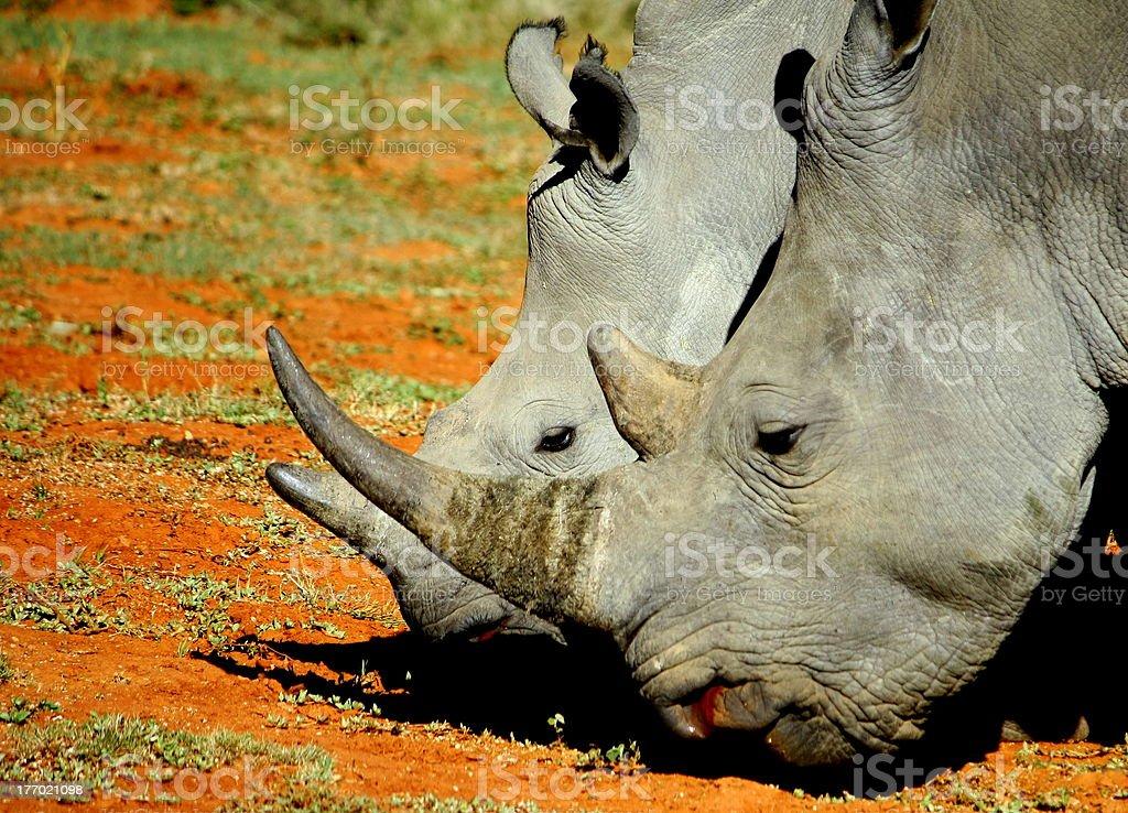 White Rhino horns royalty-free stock photo