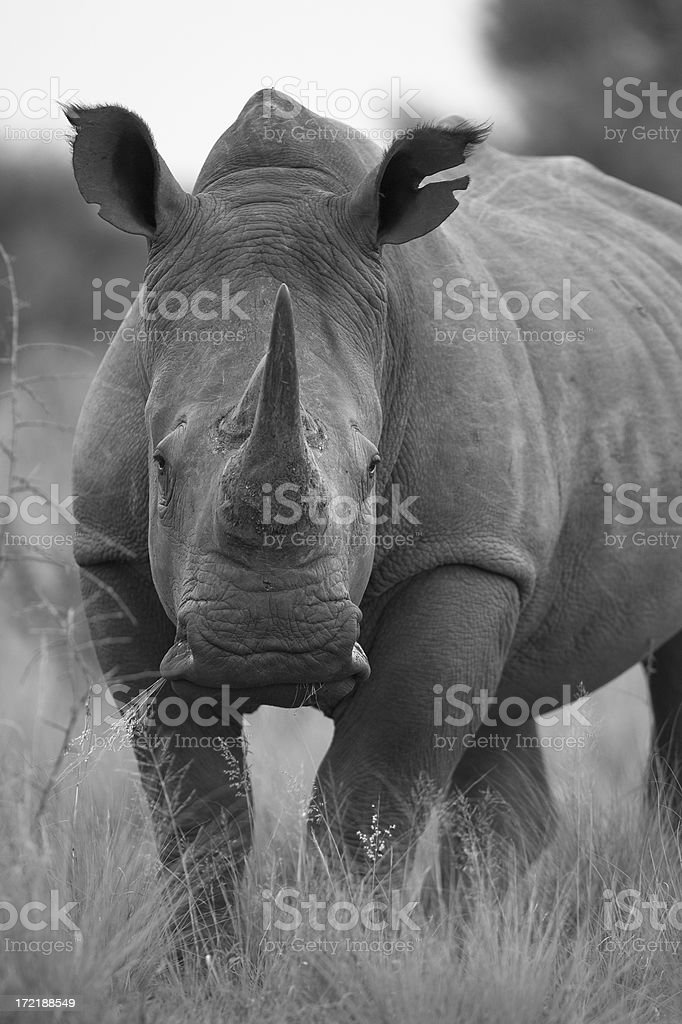 White Rhino in B&W royalty-free stock photo