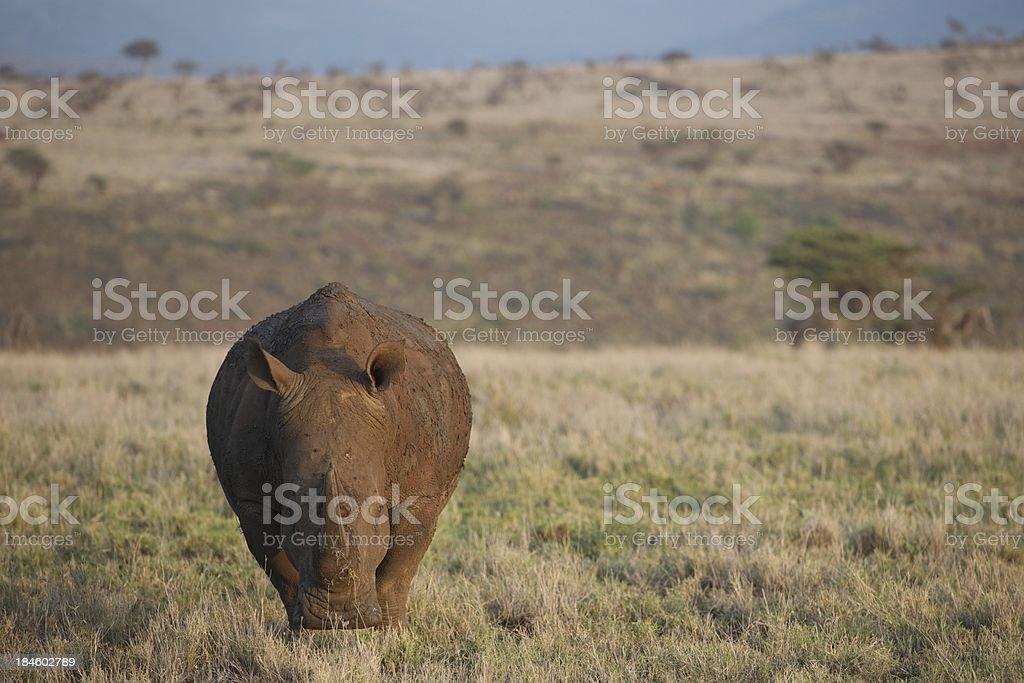 White Rhino in Kenya, Africa stock photo