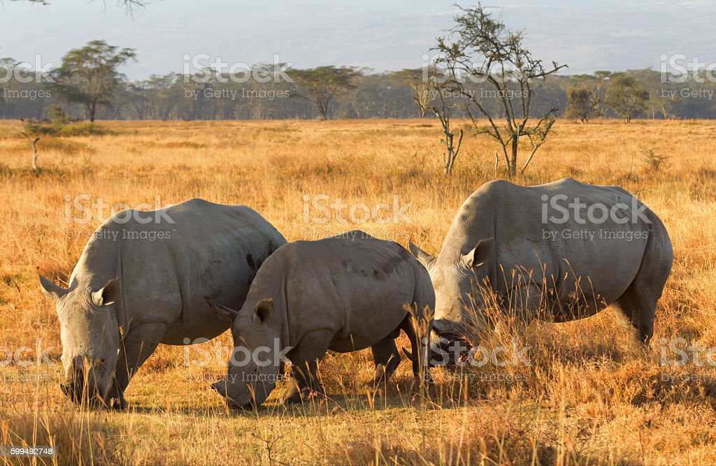 White Rhino in Nakuru Park stock photo