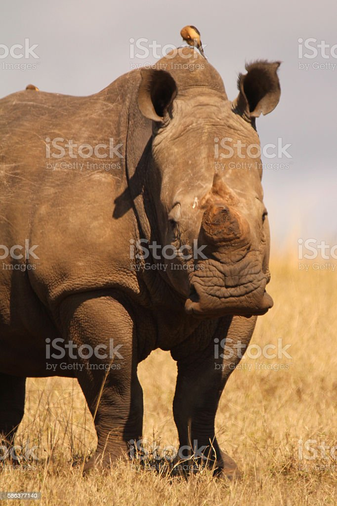 White Rhino in the African bushveld stock photo