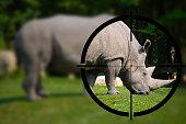 White Rhino in the Rifle Sight