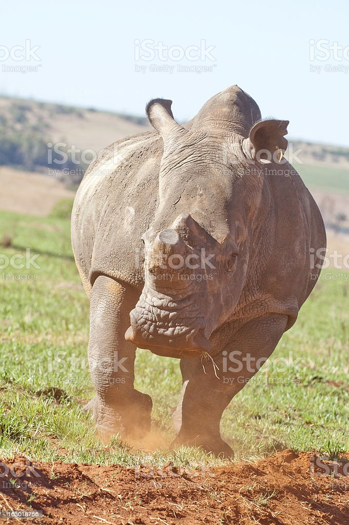 White Rhino kicking up dust stock photo