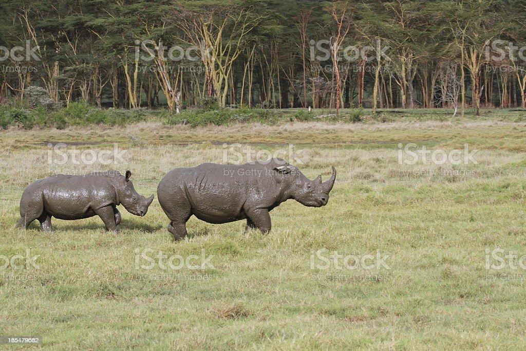 White rhino mother and calf, Lake Nakuru, Kenya stock photo