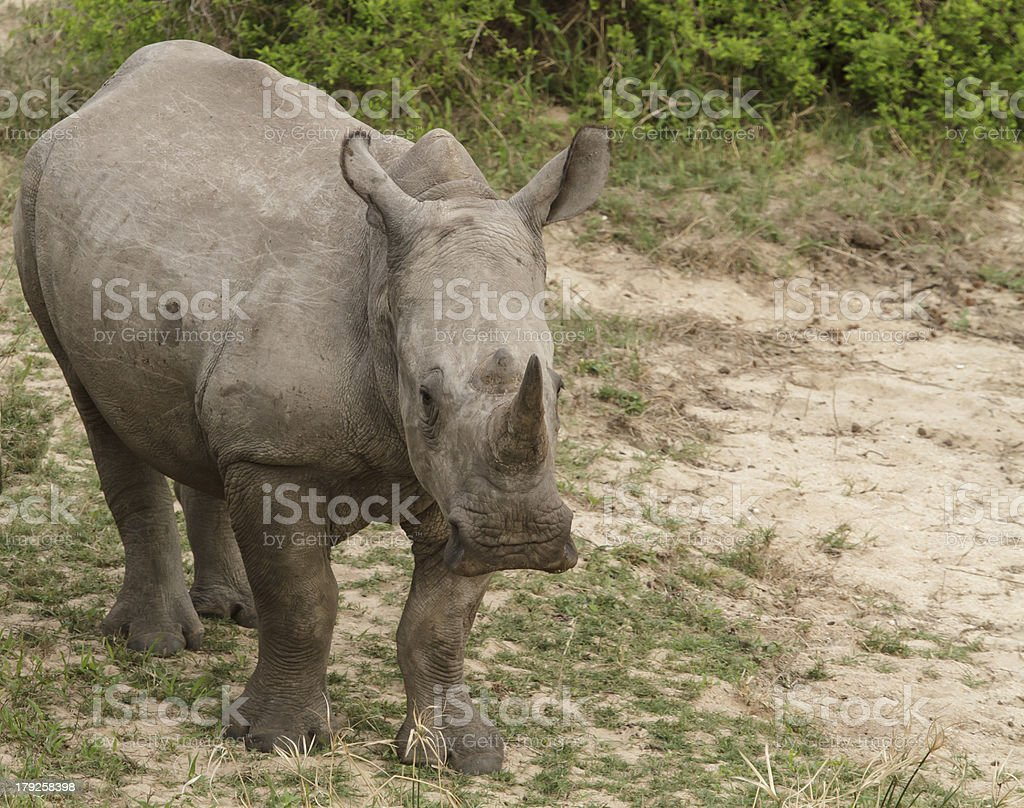White Rhino royalty-free stock photo