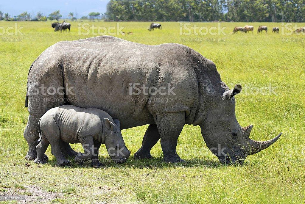 white rhino with 2 weeks calf royalty-free stock photo