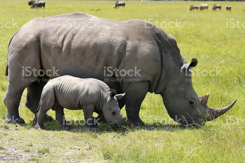 white rhino with baby stock photo
