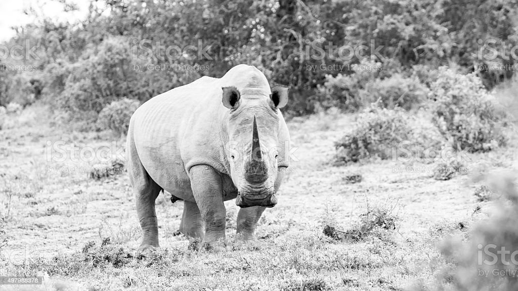 White rhino with large horn stock photo