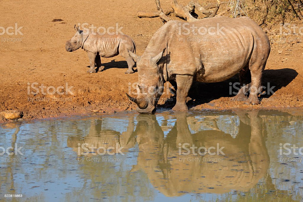 White rhinoceros and calf stock photo