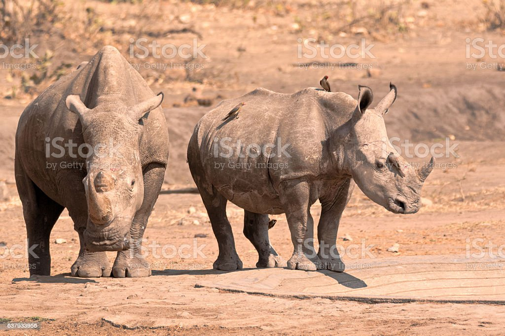 White rhinoceros cow with calf with Red-billed Oxpeckers stock photo